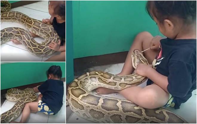 Menina brinca de veterinária com cobra gigantesca de 4,5 metros