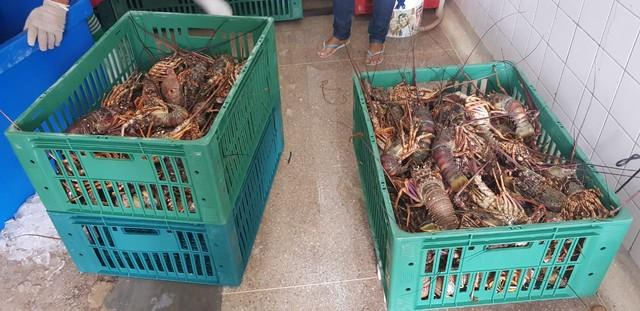 Operação apreende 357 quilos de lagostas pescadas ilegalmente no RN