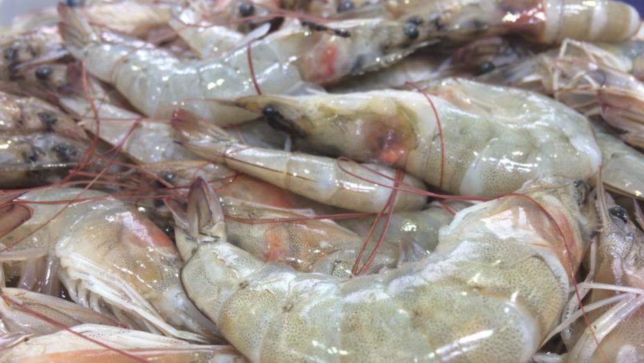 Preço do camarão está no fundo do poço e vale menos que tripa de boi